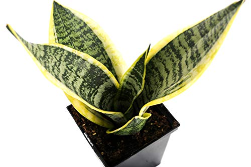 "Plants by Post Sansevieria Laurentii Quart Striped Snake Plant 4"" Easy Houseplant, Green"