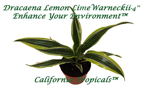 "Lemon Lime (Dracaena Warneckii) - 4"" from California Tropicals"
