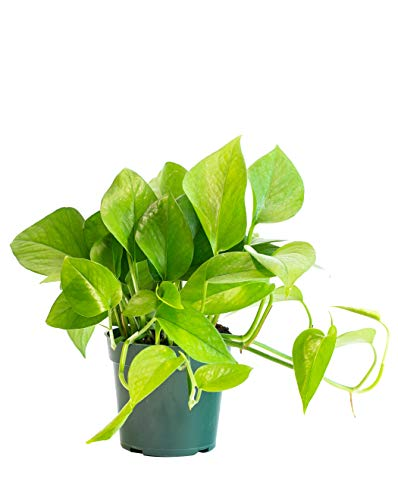 LIVETRENDS/Urban Jungle Pothos Jade in 4-inch Grower Pot, (Live Plant)