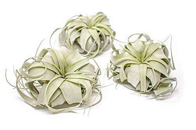 1 Tillandsia Xerographica Air Plant | Live Tropical Houseplant Decor for Terrarium Holder / Wedding Favors | Large Exotic Airplant by Plants for Pets