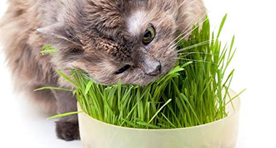 Non-GMO Cat Grass | 1 lb | Perfect for Settling Feline stomachs | Reduces hairballs | Excellent Long Term Storage and Easy Sprouting