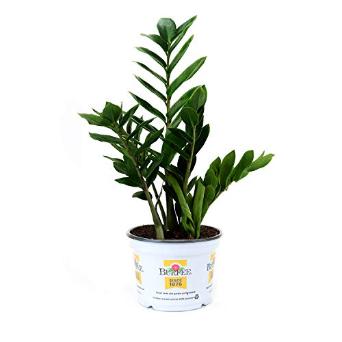 Burpee Zamioculas zamiifolia ZZ Indirect Medium Light | Live Easy Care Indoor House Plant, 6