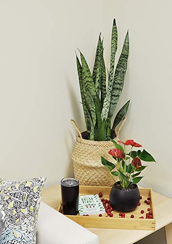 Costa Farms Snake Live Indoor Plant, 2 to 3-Feet Tall, Sansevieria