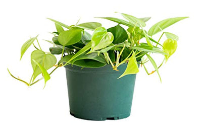 LiveTrends Design Urban Jungle Philodendron Cordatum in 6-inch Grower Pot, (Live Plant)