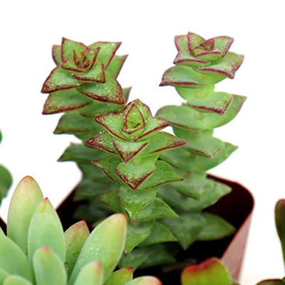 Succulent Plants 6-Pack, Fully Rooted in Planter Pots with Soil - Real Live Potted Succulents, Hand Selected Variety Pack of Mini Succulents (6 Pack)