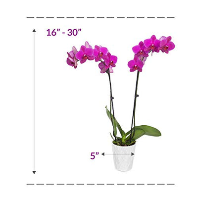 "Just Add Ice 304209 Orchid Easy Care Live Plants, 5"" Diameter, Purple"