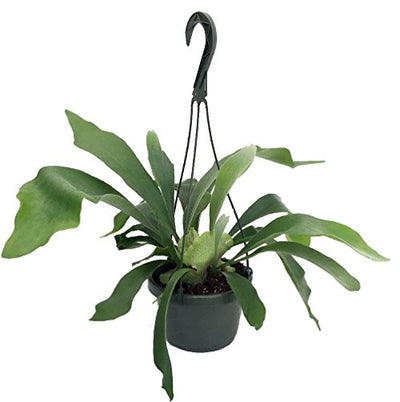 "Staghorn Fern 6.5"" Hanging Plant - Exotic House Plant"