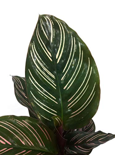 Pin Stripe Calathea - Live Plant in a 4 Inch Pot - Calathea Ornata - Beautiful Easy to Grow Air Purifying Indoor Plant