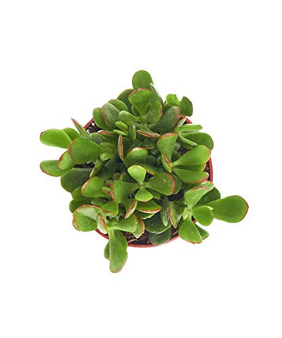 "Shop Succulents | Good Luck Collection | Hand Selected, Fully Rooted Live Indoor Jade Succulent Plant in a 4"" Grow Pot, Single"