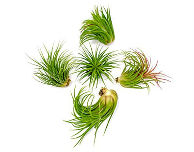 5 Large Ionantha Tillandsia Air Plant Pack - Each 2 to 3.5 Inches Long - Live Tropical House Plants for Home Decor - Indoor Terrarium Air Plants