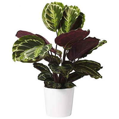 "AMERICAN PLANT EXCHANGE Calathea Medallion Peacock Live Plant, 6"" Pot, Indoor/Outdoor Air Purifier"
