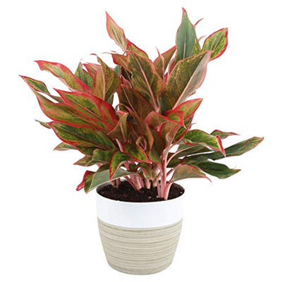 Costa Farms Aglaonema Red Chinese Evergreen Live Indoor Plant, 14-Inches Tall, Ships in White-Natural Décor Planter