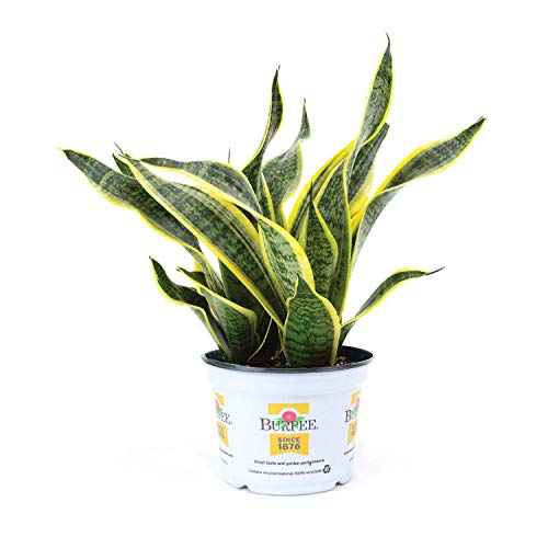 Burpee Sanseviera laurentii Golden Snake Indirect Medium Light | Live Easy Care Indoor House Plant, 6