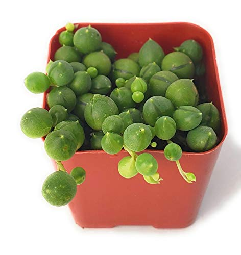 Fat Plants San Diego Trailing Succulent Collection (2 Inch, String of Pearls)