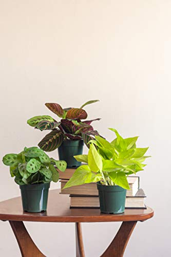 LiveTrends Design/Urban Jungle Pothos Marble Queen in 4-inch Grower Pot, (Live Plant)