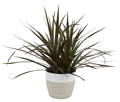 Costa Farms Dracaena Marginata Magenta Madagascar Dragon Tree Live Indoor Plant, 14-Inches Tall, Ships in White-Natural Décor Planter