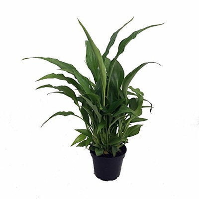 "Peace Lily Plant - Spathyphyllium - Great House Plant - 4"" Pot"
