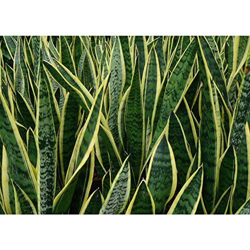 AMERICAN PLANT EXCHANGE Sansevieria Trifasciata Laurentii Live Plant, 3 Gallon, Indoor/Outdoor Air Purifier