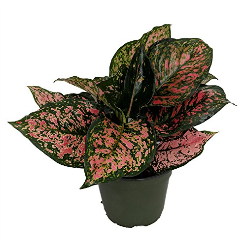 Red Valentine Chinese Evergreen Plant - Aglaonema - Grows in Dim Light - 6