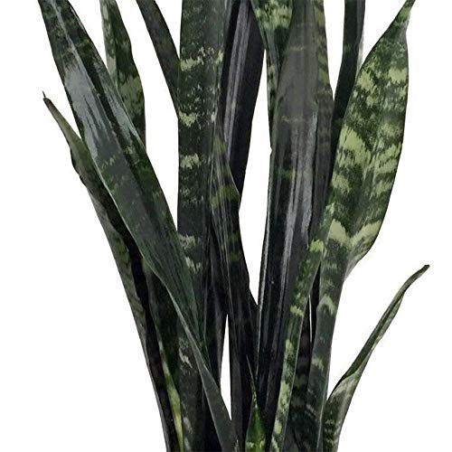 AMERICAN PLANT EXCHANGE Sansevieria Trifasciata Black Coral Live Plant, 3 Gallon, Indoor/Outdoor Air Purifier