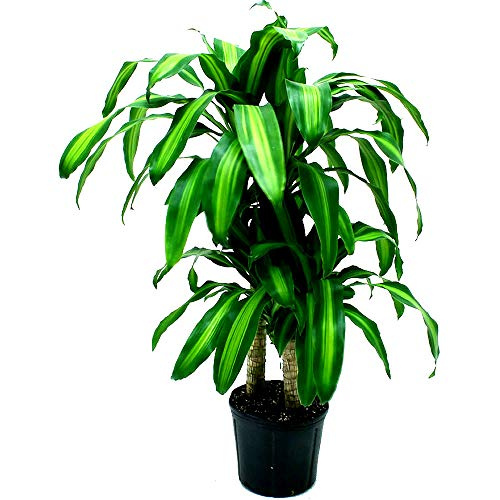 Skrootz Cane Corn Plant Live Dracaena Fragrans Easy to Grow Live House Plant 10-inch Grower's Pot