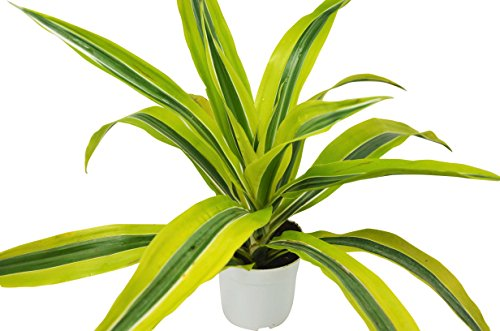 "Dracaena Deremensis 'Lemon Surprise' - Live House Plant - FREE Care Guide - 4"" Pot - HARD TO KILL"