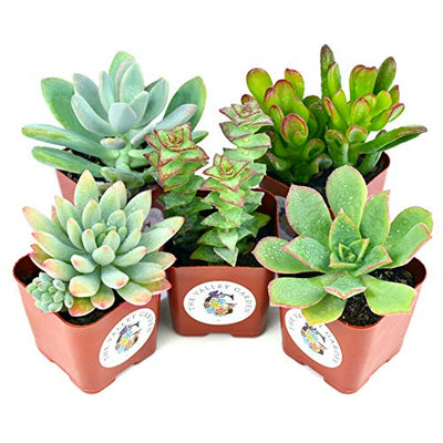 Succulent Plants 5-Pack, Fully Rooted in Planter Pots with Soil - Real Live Potted Succulents,Hand Selected Variety Pack of Mini Succulents