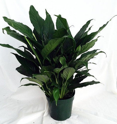 "Peace Lily Plant - Spathyphyllium - Great House Plant - 4"" Pot unique from jmbamboo"