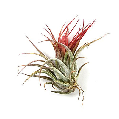 12 Pack Tillandsia Ionantha Air Plants - Fast Shipping - 30 Day Guarantee - Wholesale - Bulk - House Plants - Succulents - Air Plant Care Ebook Included