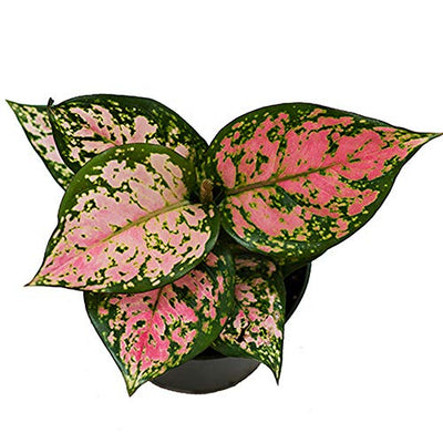 "AMERICAN PLANT EXCHANGE Aglaonema Chinese Evergreen Hot Pink Valentine Wishes Live Plant, 4"" Pot, Indoor/Outdoor Air Purifier"