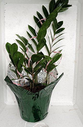 "Valentine-cover decorative Rare ZZ Plant - Zamioculcas zamiifolia - Houseplant - 6"" Pot-from jmbamboo"