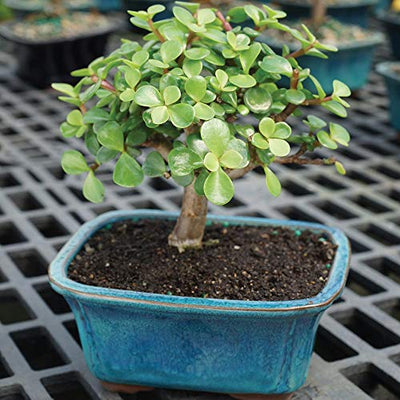 "Brussel's Bonsai Live Dwarf Jade Indoor Bonsai Tree-3 Years Old 4"" to 6"" Tall with Decorative Container, Small"