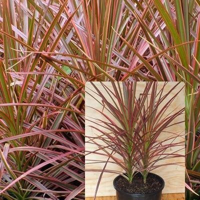 Dracaena Marginata Colorama - Tri-color Dragon Tree Houseplant From Jm Bamboo
