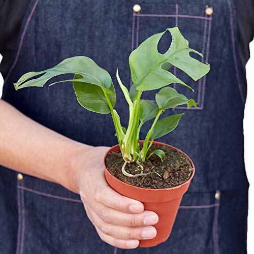 "HOUSE PLANT SHOP | Mini Monstera (Minima) - 4"" Pot 