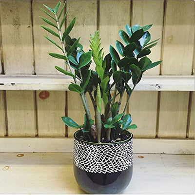 "AMERICAN PLANT EXCHANGE ZZ Zanzibar Gem Live Plant, 6"" Pot, Indoor/Outdoor Air Purifier"