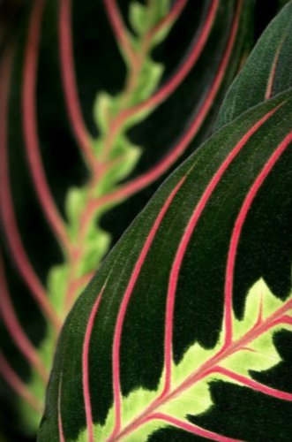 "Red Prayer Plant - Maranta - Easy to Grow House Plant - 6"" Hanging Basket / from jmbamboo"