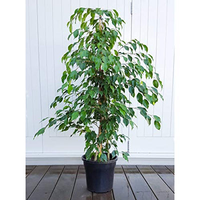 Live Ficus Benjamina Green aka Weeping Fig, Benjamin Fig, Ficus Tree Live Plant - Indoor 4-5 Feeet Tall Live Plant Fit 5 Gallon Pot