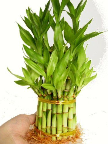 9GreenBox - 3 Tier 4 6 8 Top Quality Lucky Bamboo for Feng Shui (Total About 38 Stalks)