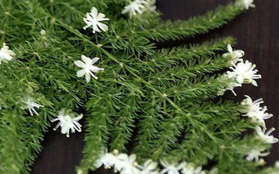 "Fern Leaf Plumosus Asparagus Fern - 4"" Pot - Easy to Grow - Great Houseplant"