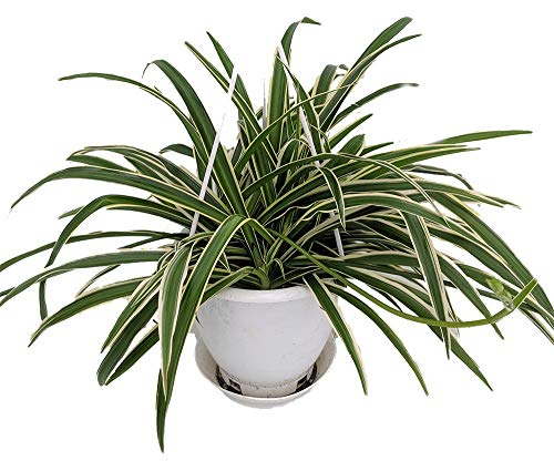 "Reverse Variegated Spider Plant - Easy to Grow/Cleans The Air - 4"" Pot"