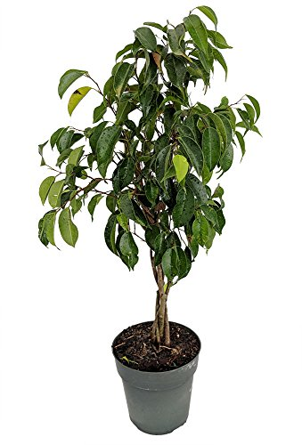 "Braided Wintergreen Weeping Fig Tree - Ficus benjamina - Easy to Grow - 6"" Pot"