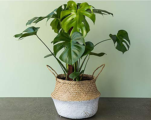 "American Plant Exchange Philodendron Monstera Deliciosa Live Plant, 6"" Pot, Fruit Producing Indoor Air Purifier"
