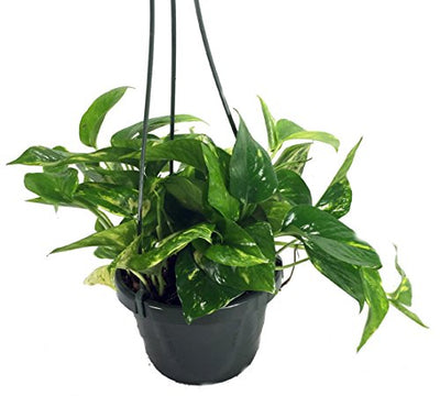 "Golden Devil's Ivy - Pothos - Epipremnum - 6"" Hanging Pot - Clean Air Machine"