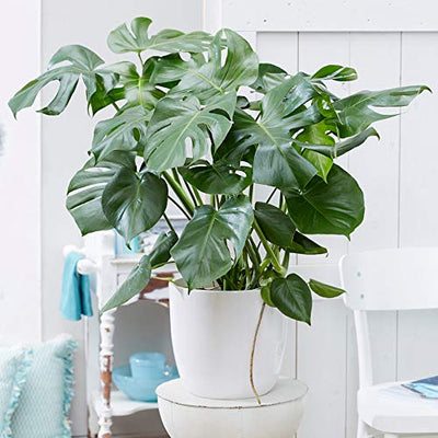 Brighter Blooms Monstera Swiss Cheese Plant