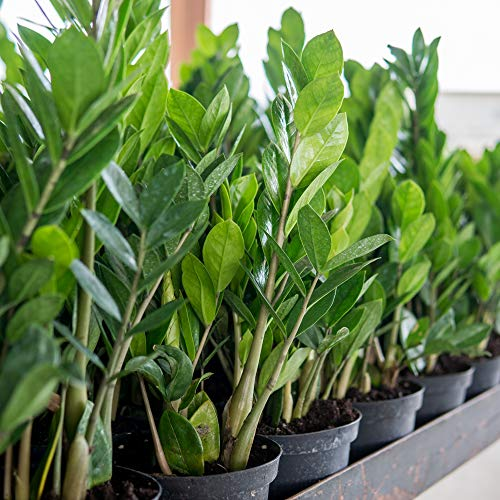 Perfect Plants ZZ Plant - 6 in. Growers Pot | Zamioculcas Zamiifolia | 17in Tall | Easy Care Houseplant | Perfect for Moderate to Bright Light Conditions (6 in Grower's Pot)