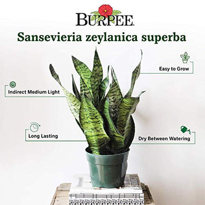 "Burpee Sansevieria superba Snake Indirect Medium Light | Live Easy Care Indoor House Plant, 6"" Pot"