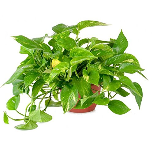 AMERICAN PLANT EXCHANGE Golden Pothos Indoor/Outdoor Air Purifier Live Plant, 6