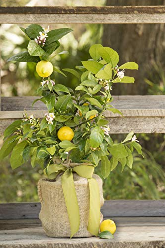 Housewarming Improved Meyer Lemon Gift Tree by The Magnolia Company