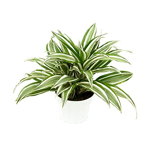 "White Bird Dragon Tree - Dracaena warneckii - 6"" Pot - Easy to Grow House Plant by AchmadAnam"
