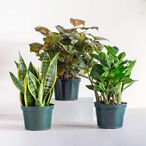 LiveTrends Design/Urban Jungle Peace Lily (Spath) in 6-inch Grower Pot, (Live Plant)